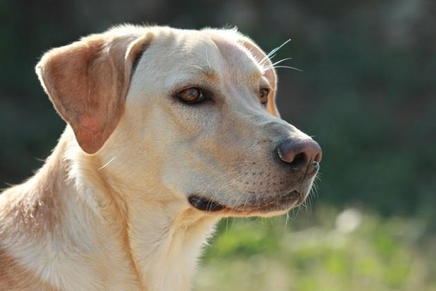 Cruce de Labrador macho joven en adopción Dublin-1